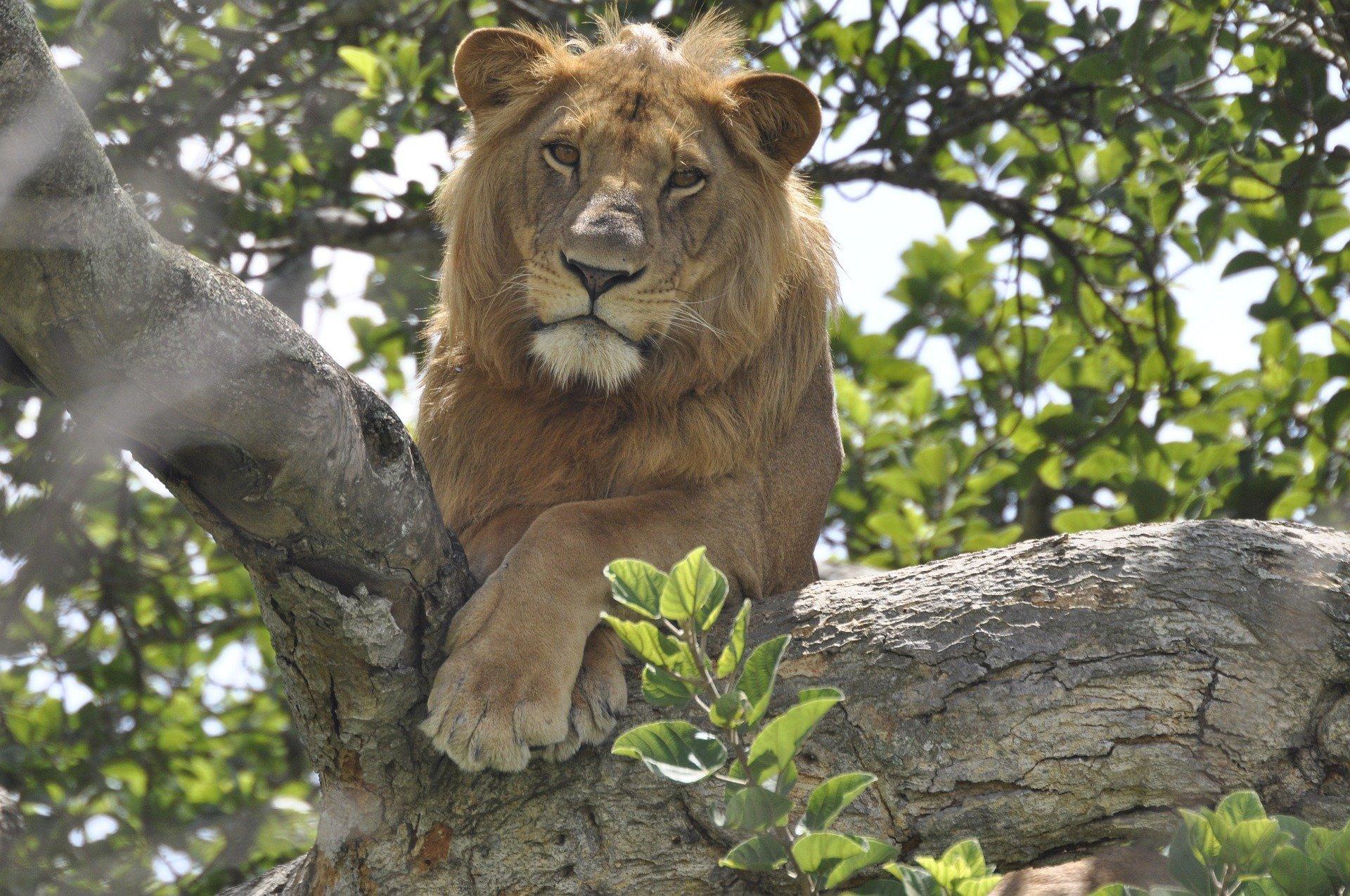 lion-4828189_1920